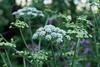Oenanthe crocata (Hemlock Water Dropwort)