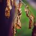 Dry brown leaves in spring.