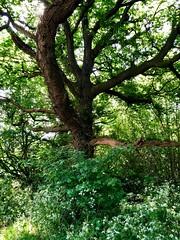 Photo of Oak tree 147~366