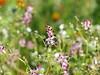 Fumitory Wildflowers