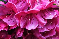 20200525 Oak Bay Co-op Rhododendron