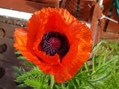 Photo of Poppy 1