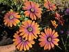 Osteospermum - Purple Sun in my Willen garden 20May20