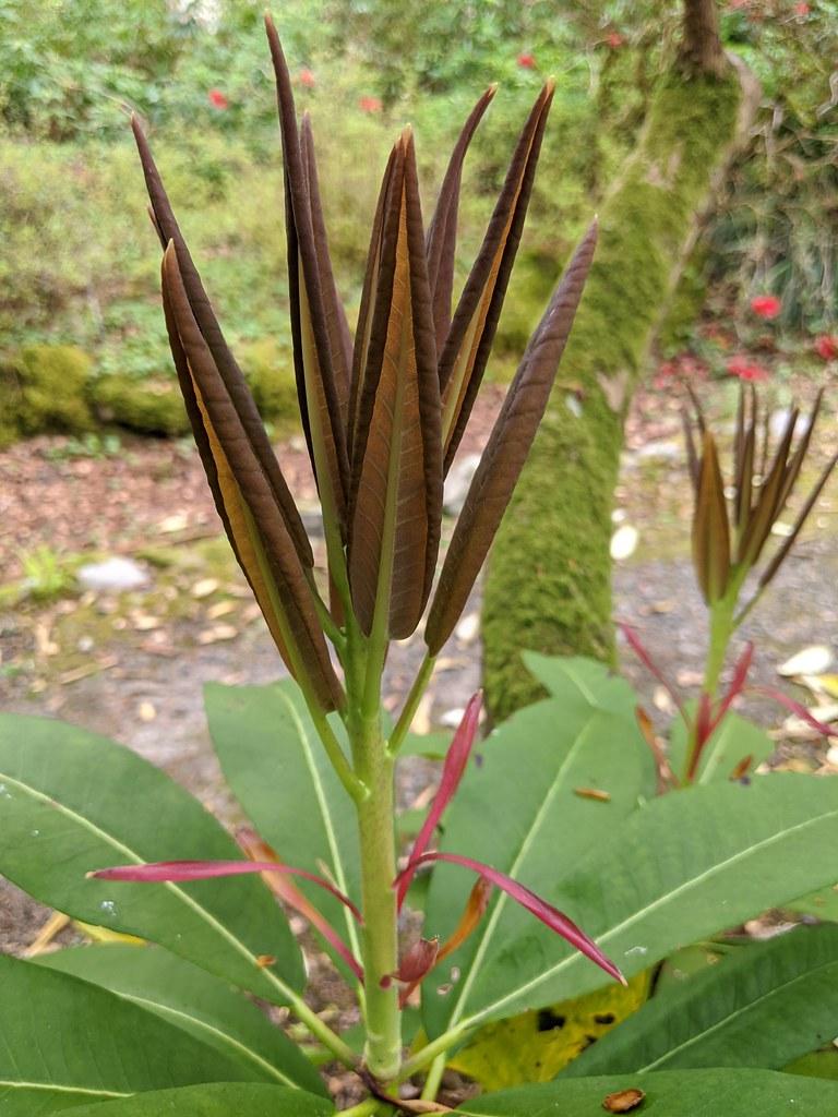 0483 Rh decorum ssp fortunei new growth 2