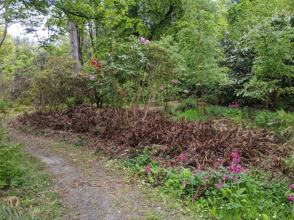 Rhodie v fern after 3
