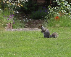 Photo of Squirrel by the Rose Garden
