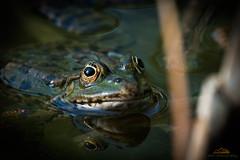 Frosch, Bokeh 4