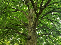 Photo of Horse chestnut tree, Orlingbury, Northants
