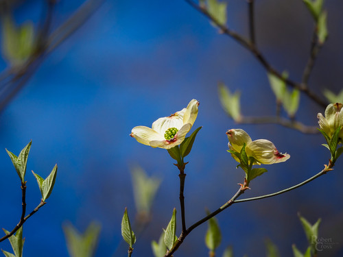 Dogwood in the Blue