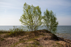 Birch on the Beach