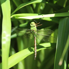 Photo of Female Emperor Dragonfly - Nag's Head Cottage