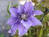 Clematis in my Willen garden 20May20 b