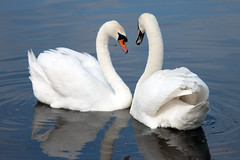 Photo of UK, Cambridgeshire - Swans in St Ives