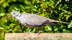 Photo of Collared Dove