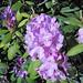 Rhododendron sp. (Newark, Ohio, USA) 3