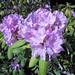Rhododendron sp. (Newark, Ohio, USA) 2