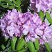 Rhododendron sp. (Newark, Ohio, USA) 4