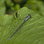 female (?) azure damselfly (Coenagrion puella)