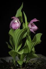 Cypripedium macranthos '#1905 Kawai' Sw., Kongl. Vetensk. Acad. Nya Handl. 21: 251 (1800)