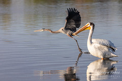 May 25, 2020 - A great blue heron races by a pelican. (Tony's Takes)