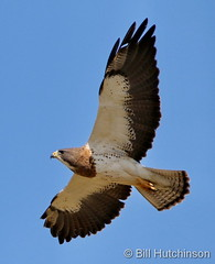 May 25, 2020 - Swainson's hawk in flight. (Bill Hutchinson)