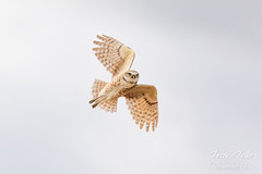 May 24, 2020 - Burrowing owl in flight. (Tony's Takes)