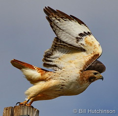 May 24, 2020 - Red tailed hawk leaps into action. (Bill Hutchinson)