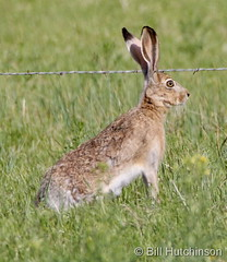 May 24, 2020 - Jackrabbit on alert. (Bill Hutchinson)