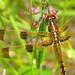 Painted skimmer, male  (Libellula semifasciata)