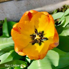 May 1, 2020 - Gorgeous tulips in Thornton. (Mary Lindow)