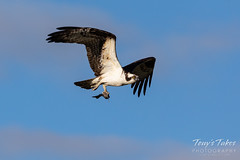 May 25, 2020 - Osprey with a catch in Adams County. (Tony's Takes)