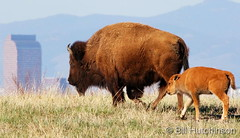 May 20, 2020 - Bison calf and mom. (Bill Hutchinson)