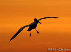May 23, 2020 - Sunrise pelican. (Bill Hutchinson)