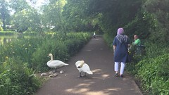 Photo of Swan family at Bingham's Pond