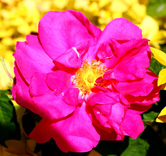 Photo of Apothecary's Rose