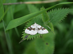 Photo of Silver-ground Carpet Moth.