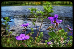 Photo of Flowers along the Tay