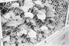 はみ出る紫陽花