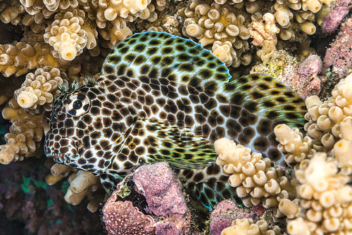 Leopard blenny, female - Exallias brevis