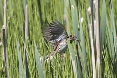 Photo of Reed Bunting (F)