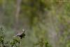Sturnelle des prés (Eastern Meadowlark) Godmanchester.
