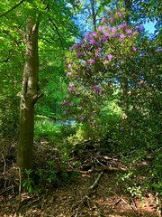 Photo of Rhododendrons 150~366
