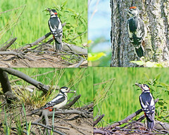 Photo of Great Spotted Woodpecker and son