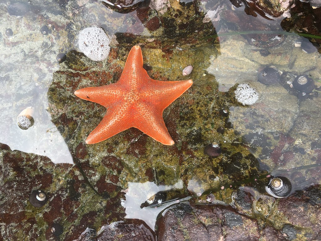 Starfish in a shallow tidepool, Villa Creek beach, Estero Bluffs State Park