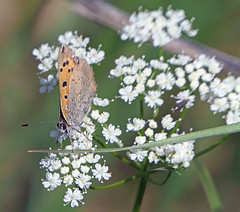 Photo of Small Copper Butterfly