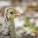 Wild Turkey Chick