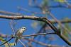 Paruline de Brewster (Brewster's Warbler) Hybride d'ailes dorées x ailes bleues  (Golden-wingedxBlue-winged hybrid)Godmanchester.