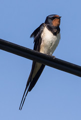 Photo of Swallow resting