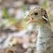 Wild Turkey Chick