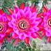Serious Cactus Flowers